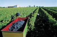 Picture of grape harvest